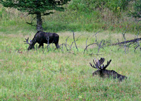 two bull moose with antlers in velvet