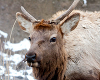 young spike bull elk with uneven antler growth