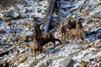 Bonner Bighorn Herd December 2014 -7
