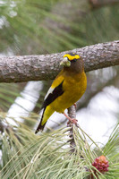 Evening Grosbeak - Male - May 2014 -2