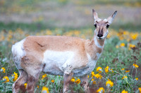 pronghorn antelope doe grazing on arrowleaf balsamroot flowers