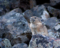 The classic pose of a vocalizing pika, sometimes known as a rock rabbit