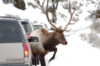 Bull elk crossing the road in front of a Suburban to access a game trail through deep snow