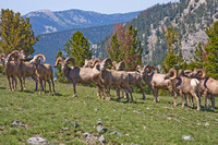 bachelor herd of Rocky Mountain bighorn sheep rams at the top of Olson Mountain