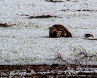 Grizzly Pillow Talk 6