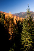 Fall Western Larch Tree Color 2013 -5