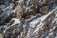 Bonner Bighorn Herd December 2014 -8