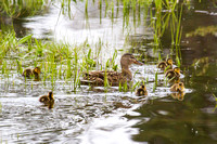 Mama Mallard and Her Brood 6