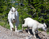 mountain goat kid leading his mother nanny mountain goat