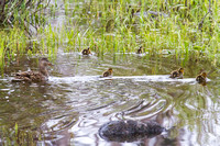 Mama Mallard and Her Brood 8