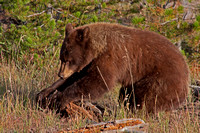 An cinnamon / red colored black bear shredding a rotten log in search of insects.