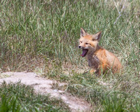 Yawning Fox Kit 3