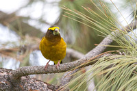 Evening Grosbeak - Male - May 2014 -6