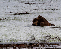 Grizzly Pillow Talk 1