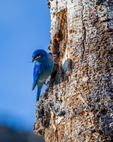 Mountain Bluebird Homemaker 2