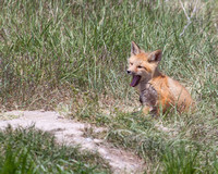 Yawning Fox Kit 2