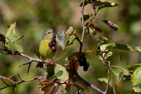 MacGillivray's Warbler - Fall Migration -5