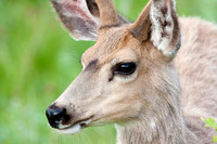 headshots of a young mule deer buck with antlers in velvet