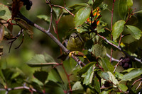 MacGillivray's Warbler - Fall Migration -2