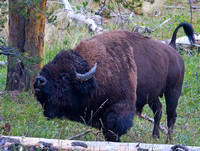 bull bison with nostrils flared, mouth open, and tail raised