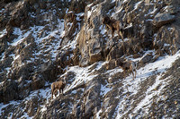 Bonner Bighorn Herd December 2014 -9