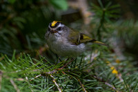 Golden-crowned Kinglet - Male 9