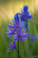 Camas 3 - Packer Meadow - '12