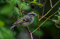 Golden-crowned Kinglet Female On The Hunt