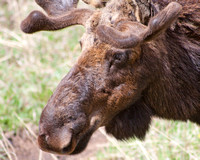 bull moose with growing antlers in velvet