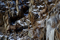 Bonner Bighorn Herd December 2014 -5