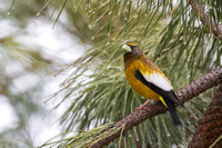 Evening Grosbeak Umbrella
