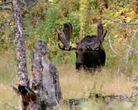 a large bull moose with mature antlers in velvet surrounded by mature grass and leaves