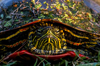 painted turtle showing off in evening light