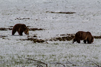 Grizzly Couple 1