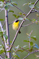 Common Yellowthroat -2