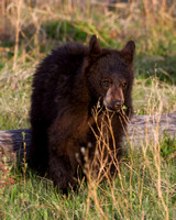 Elk Creek Black Bear Family 7
