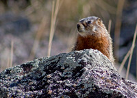 marmot looking to the right