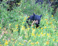 black bear feasting on huckleberries