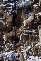 Bonner Bighorn Herd December 2014 -4