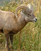 Bighorn sheep of the Gardner Canyon herd in Yellowstone National Park