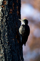 Black-backed Woodpecker - Male - Lolo Burn Area 4