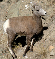 bighorn sheep on vertical canyon wall