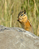 A chipmunk nibbles on a seed