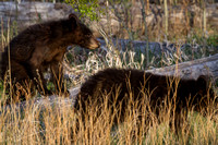Elk Creek Black Bear Family 8