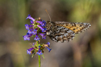 Chryxus Arctic Butterfly on Small-flowered Penstemon 1