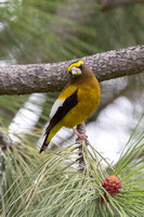 Evening Grosbeak - Male - May 2014