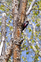 Lewis's Woodpecker - Council Groves State Park