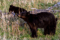 Elk Creek Black Bear Family 12