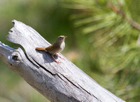 House Wren - Council Groves State Park