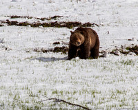 Female Grizzly in Season